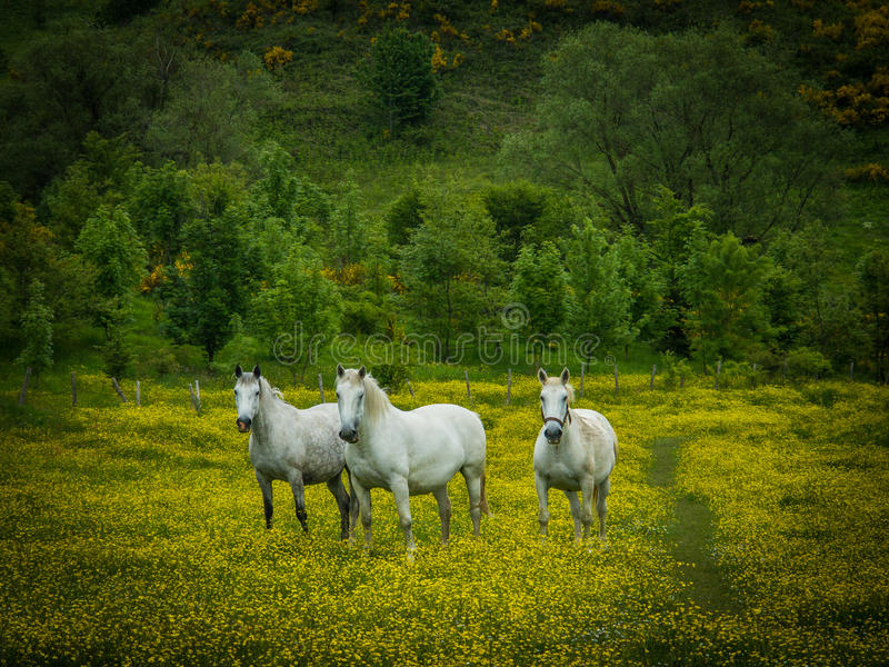 Witte paarden op het gebied royalty-vrije stock afbeelding