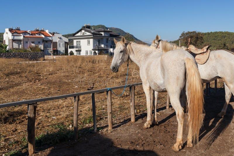 Witte paarden op het landbouwbedrijf stock foto