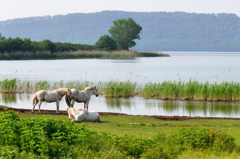 Witte paarden op Meer Vico royalty-vrije stock foto