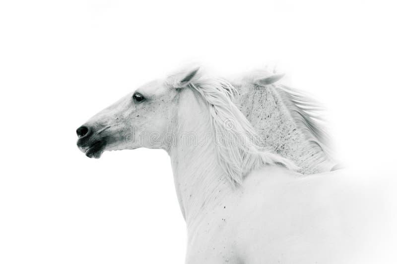 Witte paarden in zwart-wit kleuren stock fotografie