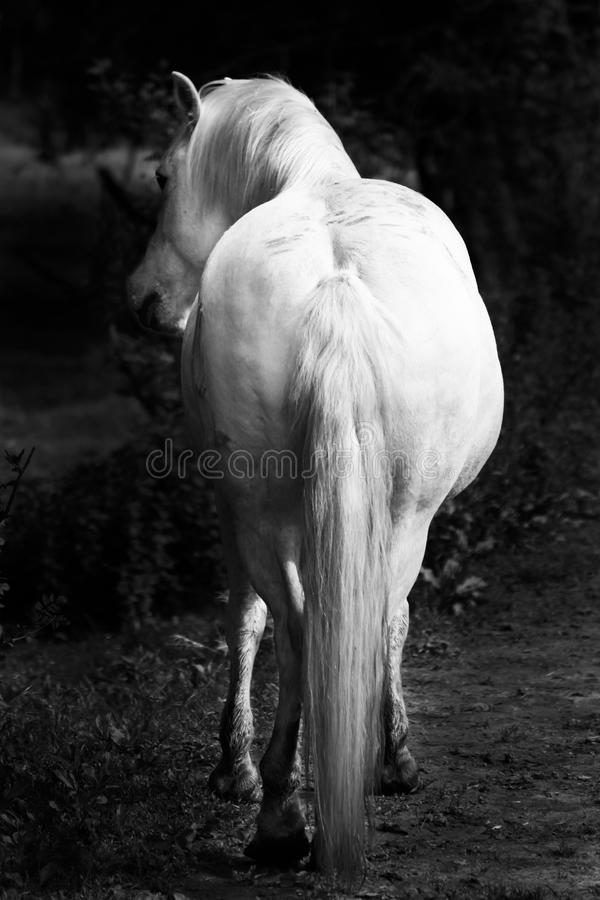 Witte paarden - zwart-wit kunstportret stock foto's