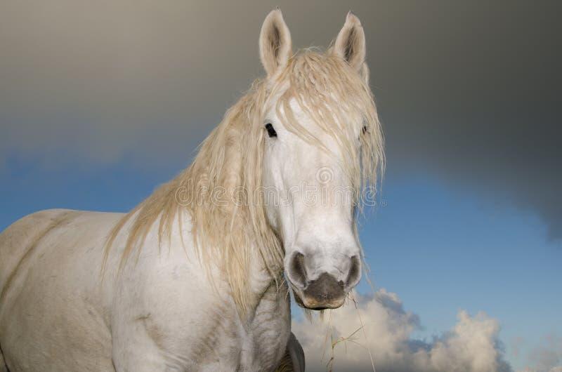 Witte paardhengst stock afbeelding