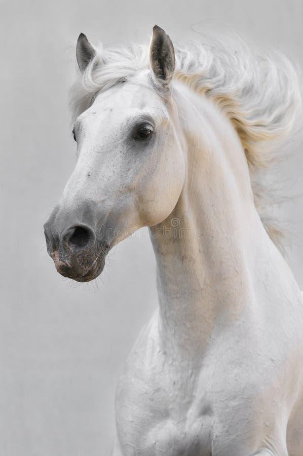 Witte paardhengst op grijze achtergrond stock afbeelding