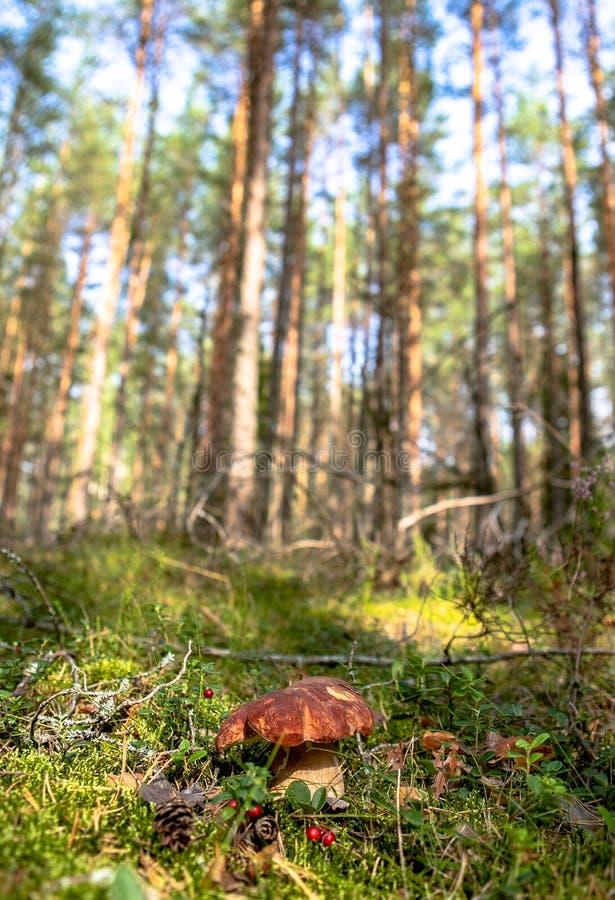 Witte paddestoel in het bos royalty-vrije stock afbeeldingen