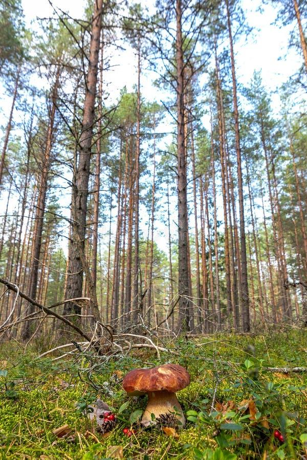 Witte paddestoel in het bos stock afbeeldingen