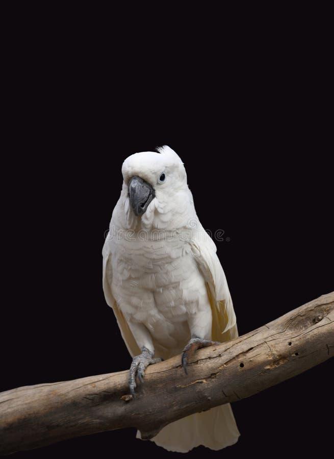 Witte Papegaai stock foto's