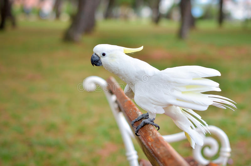 Witte Papegaai - zwavel-Kuifkaketoe - Cacatua-galerita op a stock fotografie
