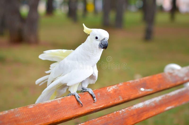 Witte Papegaai - zwavel-Kuifkaketoe - Cacatua-galerita op a royalty-vrije stock afbeelding