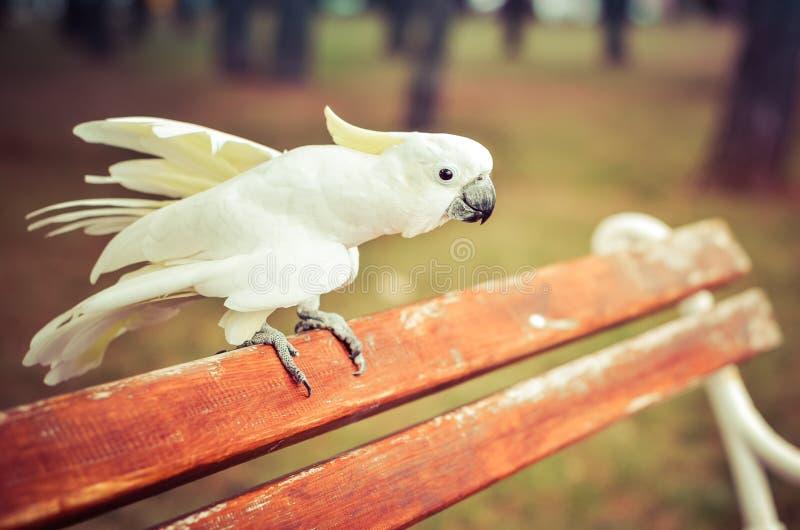 Witte Papegaai - zwavel-Kuifkaketoe - Cacatua-galerita op a royalty-vrije stock fotografie