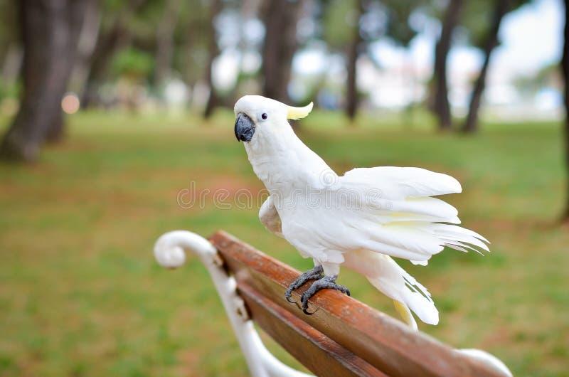 Witte Papegaai - zwavel-Kuifkaketoe - Cacatua-galerita op a royalty-vrije stock foto