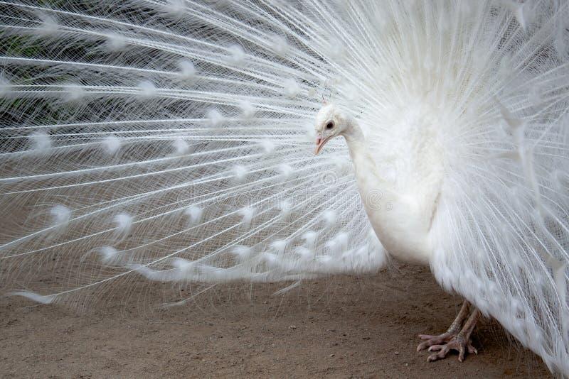 Witte pauw met de uitgebreide veren stock afbeelding