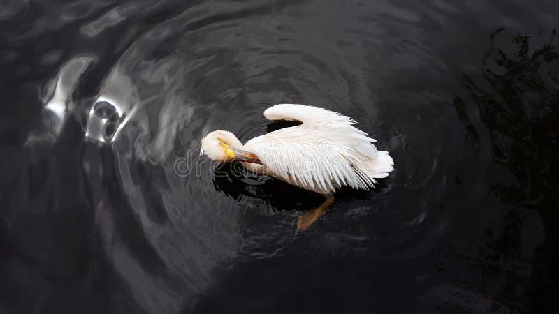 Witte pelikaan die veren in donker water van een vijver gladstrijken stock afbeelding
