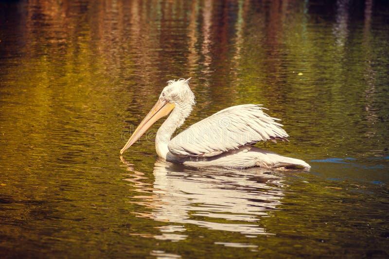 Witte pelikaan in gevangenschap, witte pelikaan bij de dierentuin stock fotografie