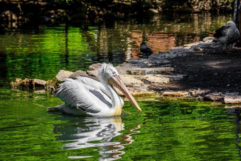 Witte pelikaan in gevangenschap, witte pelikaan bij de dierentuin stock afbeelding