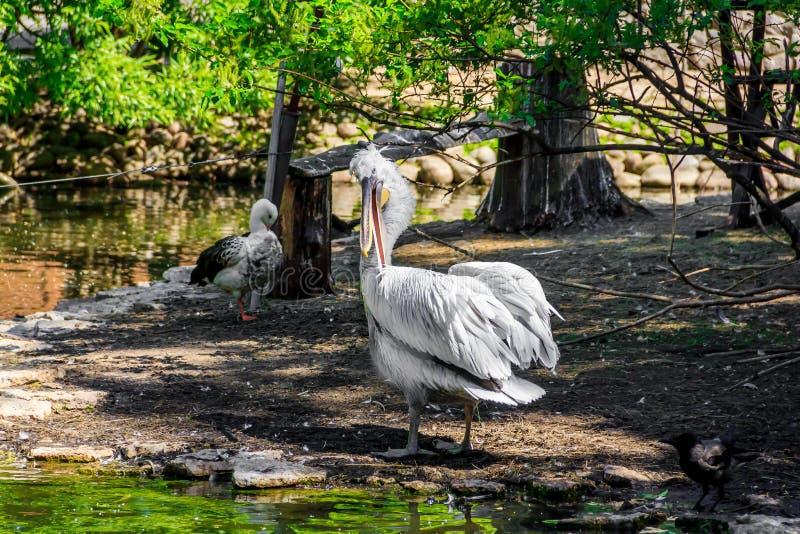 Witte pelikaan in gevangenschap, witte pelikaan bij de dierentuin royalty-vrije stock foto