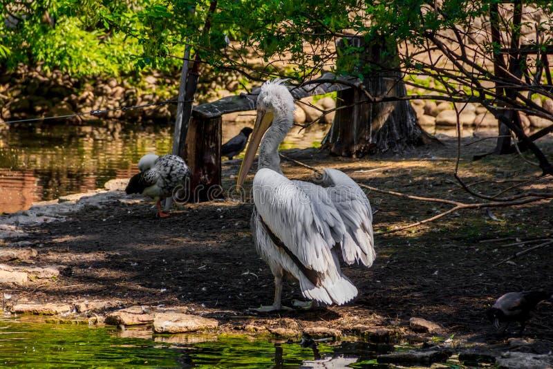 Witte pelikaan in gevangenschap, witte pelikaan bij de dierentuin royalty-vrije stock foto's