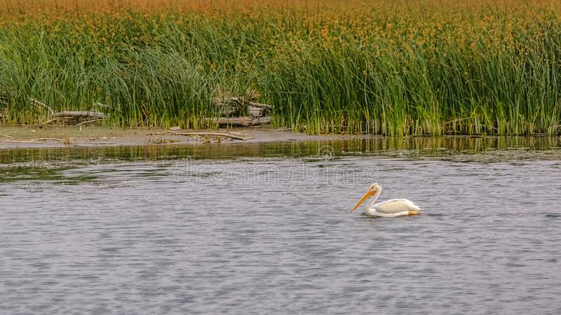 Witte pelikaan in Meer Utah tegen dikke grassen stock foto