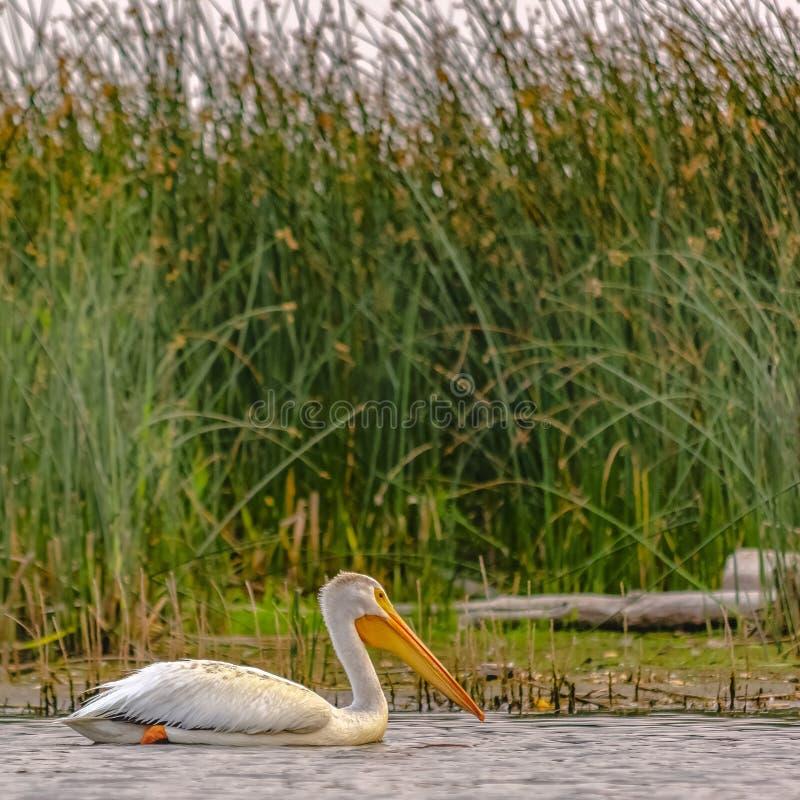 Witte pelikaan tegen grassen en hemel in meer Utah royalty-vrije stock foto's