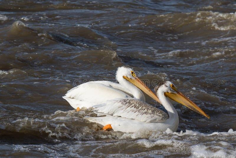 Witte pelikanen die over aan het verre Noorden voor het koppelen bij Slaaf River, Pelikaanstroomversnelling, Voet vliegen Smith,  royalty-vrije stock afbeeldingen