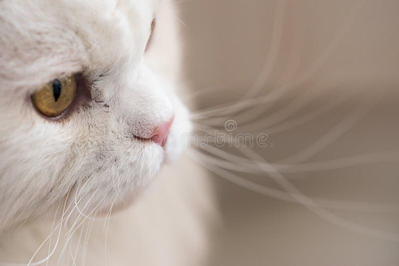 Witte Perzisch stock afbeelding