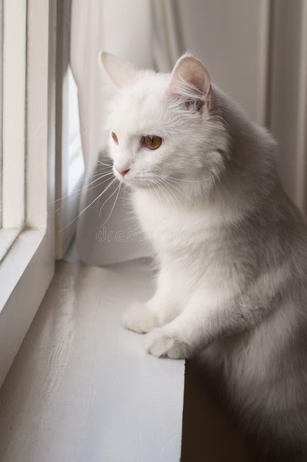 Witte Perzische kat door het venster royalty-vrije stock afbeelding
