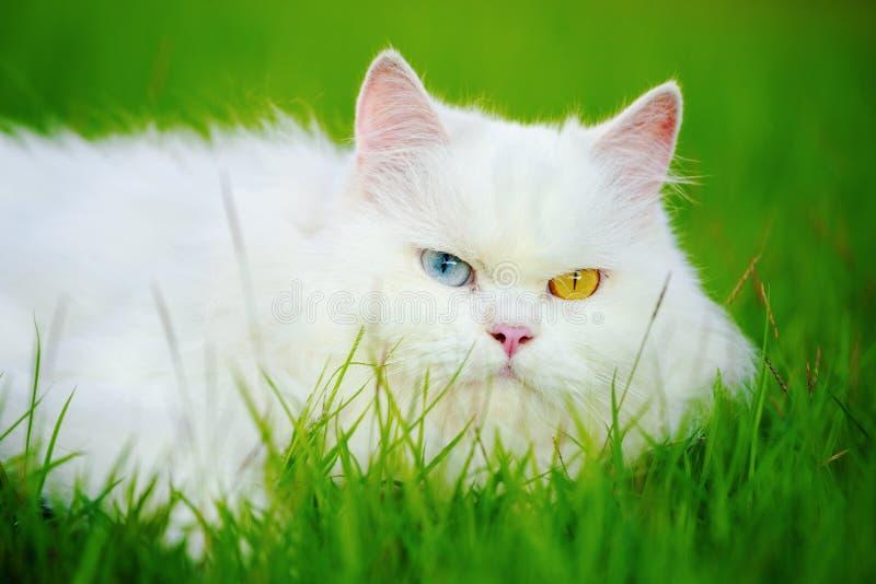 Witte Perzische Kat Met 2 Verschillend-gekleurde