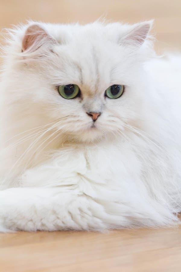 Witte Perzische katten stock foto's