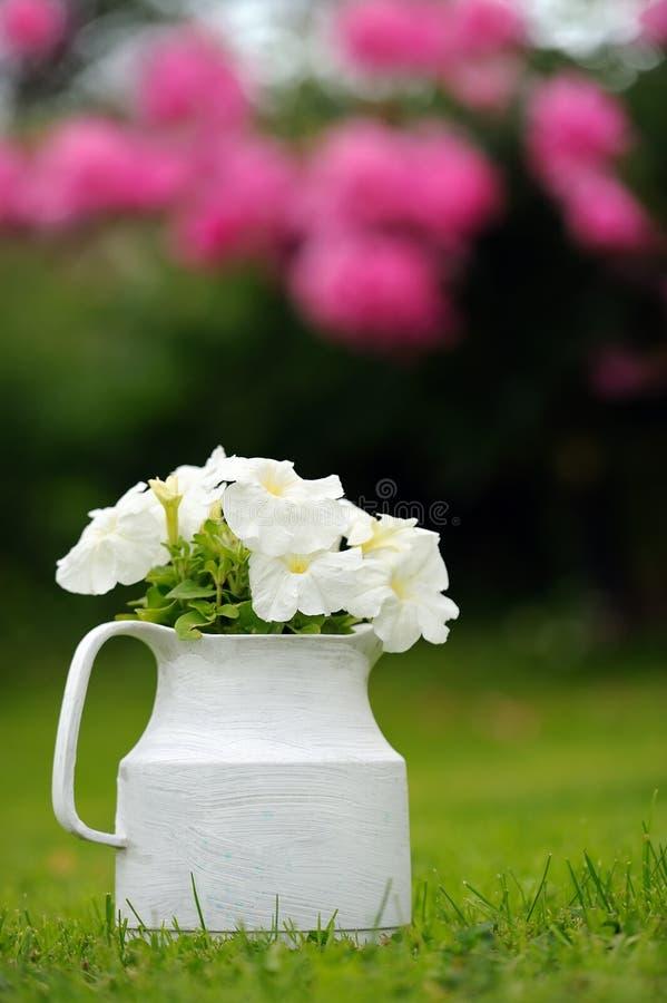 Witte Petuniabloemen in Pot in openlucht stock afbeeldingen