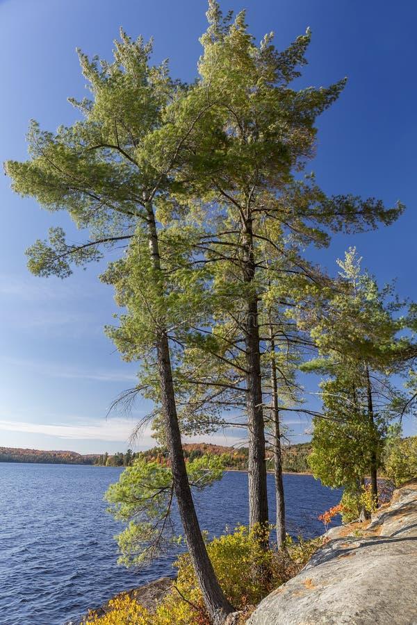 Witte Pijnbomen op Rocky Lake Shoreline - Ontario, Canada stock afbeeldingen