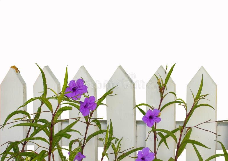 Witte piketomheining met purpere die bloemen op wit worden geïsoleerd - ruimte voor tekst op de hoogste helft stock afbeeldingen