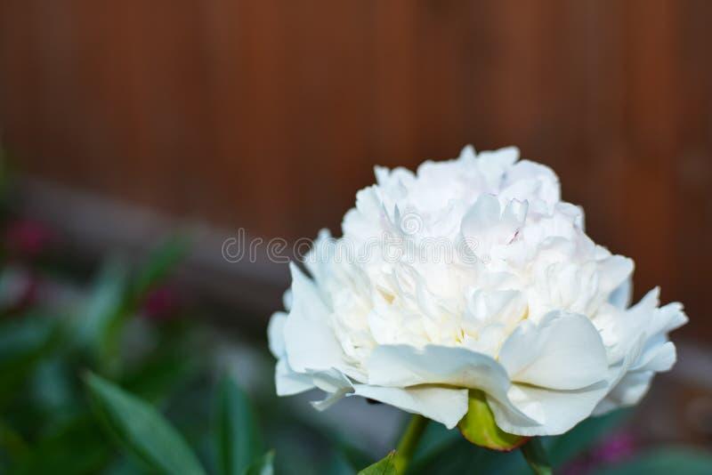Witte pioenbloem op bruine achtergrond stock fotografie