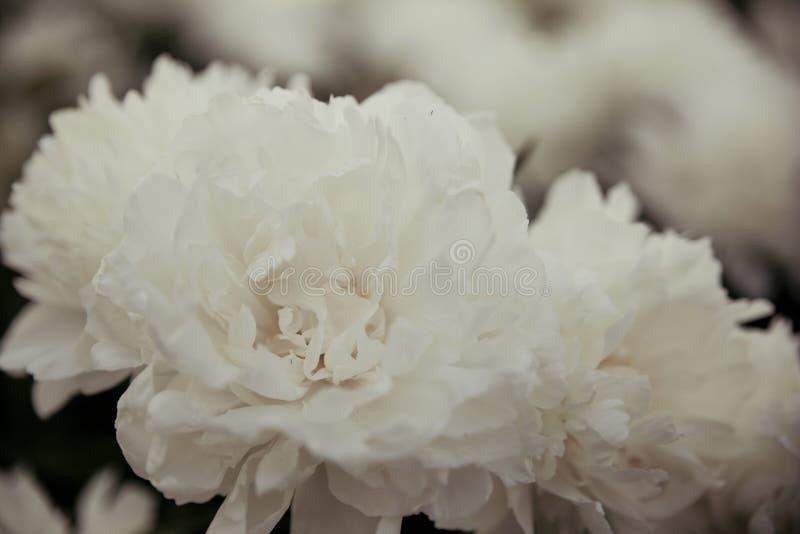 Witte pioenen royalty-vrije stock afbeelding