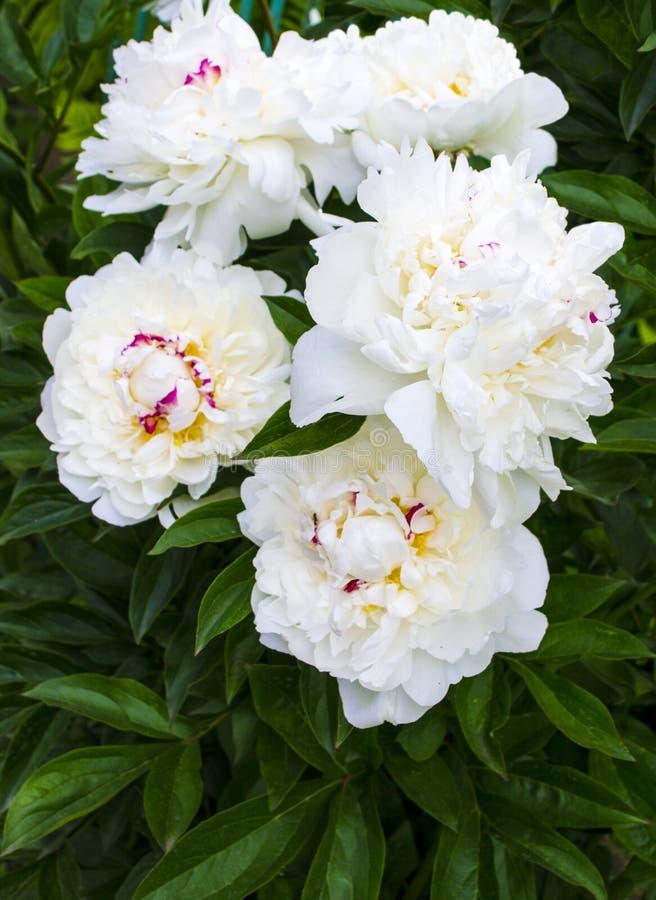 Witte pioenen De achtergrond van de boeketpioen Mooie bloemen, peon stock foto