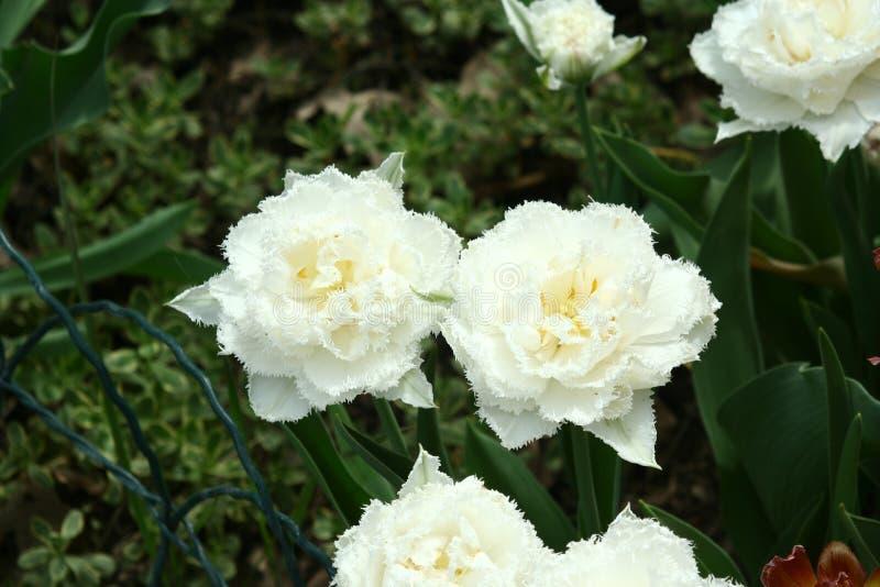Witte pion-als badstof omzoomde tulpen in een bloembed stock fotografie