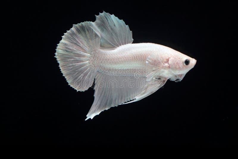Witte platina het Vechten vissen stock afbeeldingen