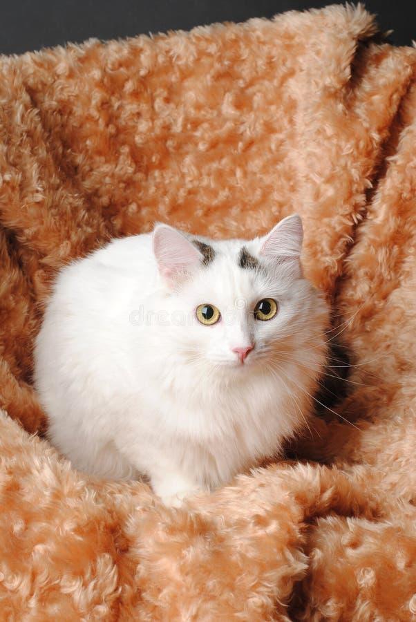 Witte pluizige angora kat op een rode plaid stock foto's