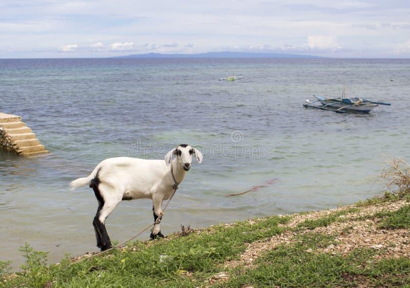 Witte pluizige geit door het overzees Het het dorpsleven van Filippijnen op het strand stock afbeelding