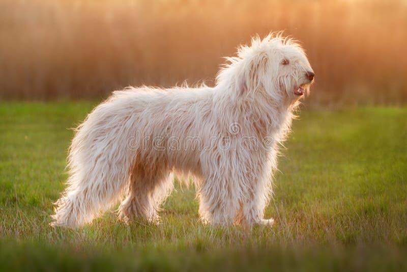 Witte pluizige hond stock foto's