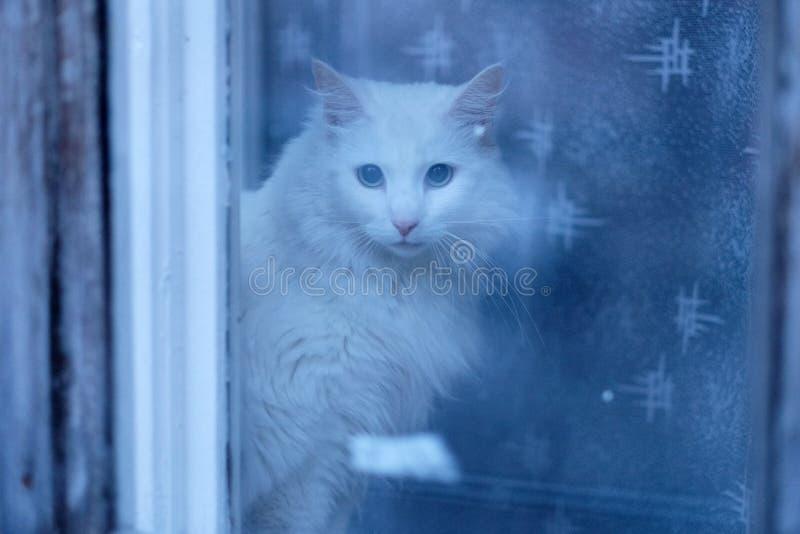 Witte pluizige huiskat op het venster stock foto