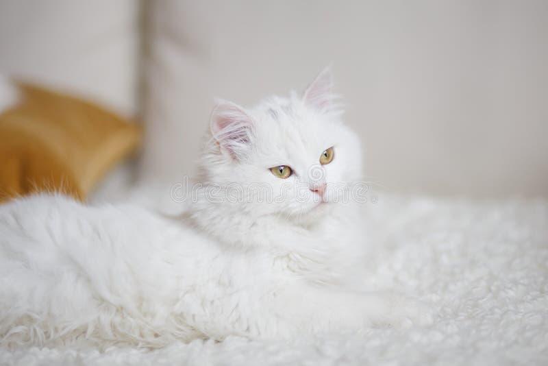 Witte pluizige kat die op de witte bus liggen stock foto's