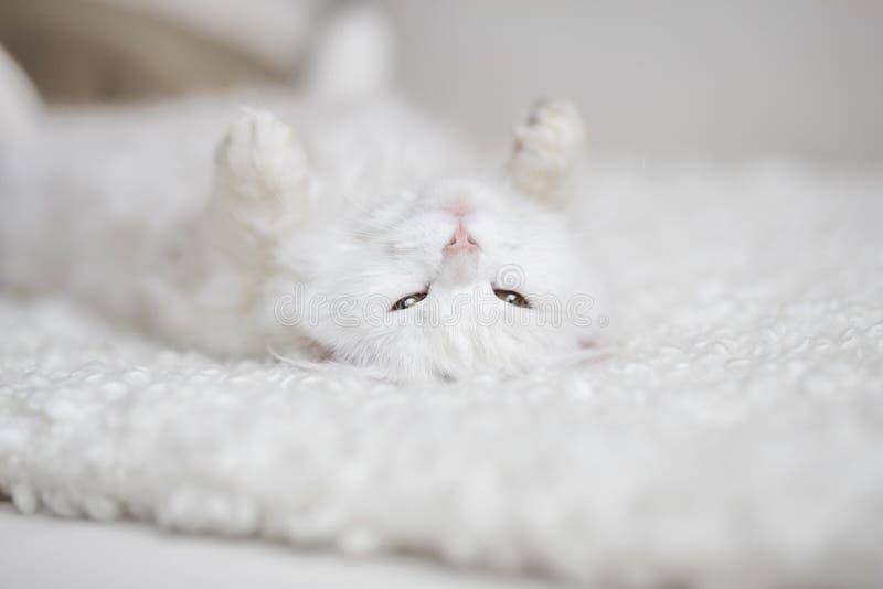 Witte pluizige kat die op de witte bus liggen stock afbeeldingen