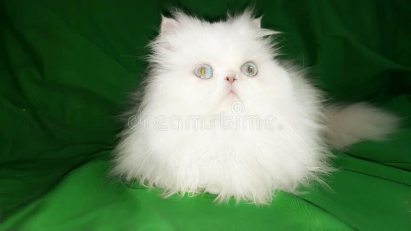 Witte pluizige mooie Perzische kat op de gordijn groene achtergrond Blauwe ogen, pluizige staart Zoete mooie vrij langharige kat royalty-vrije stock afbeeldingen