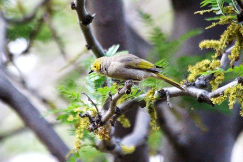 Witte Plumed Honeyeater Chick Baby royalty-vrije stock afbeeldingen