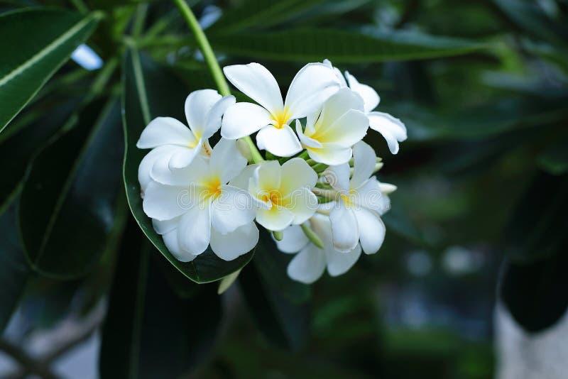 Witte plumeria stock afbeeldingen