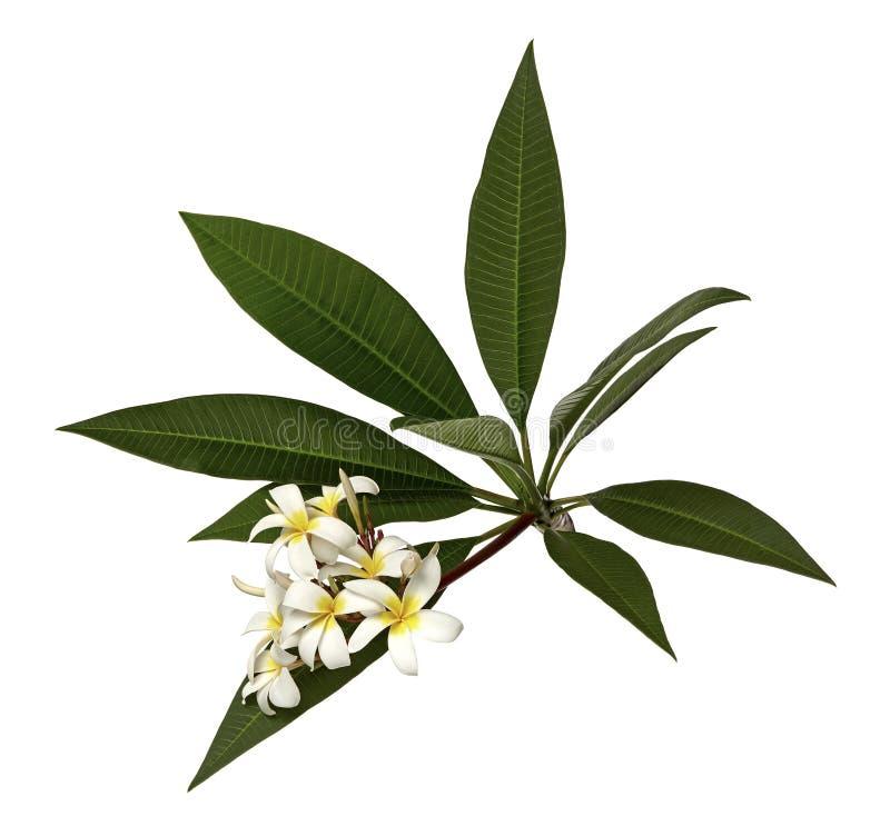 Witte Plumeria bloeit Frangipani, Geurige witte bloem die op tak met groene die bladeren bloeien, op witte achtergrond worden geï royalty-vrije stock foto's