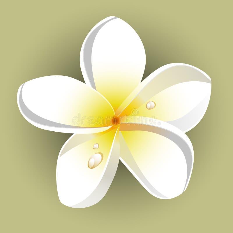 Witte plumeria (Frangipani) royalty-vrije illustratie