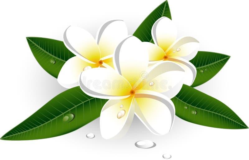 Witte plumeria (Frangipani) stock illustratie