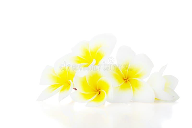 Witte plumeria of frangipani tropische bloemen op wit royalty-vrije stock foto