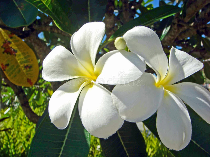 Witte Plumeria, Kauai, Hawaï royalty-vrije stock foto's
