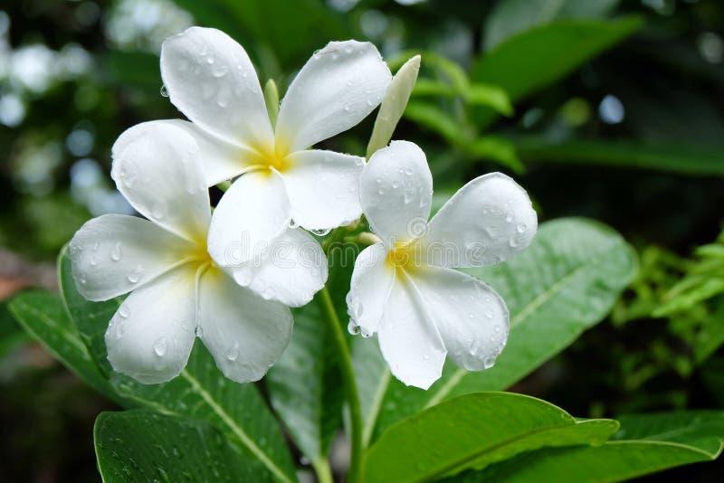 Witte plumeria met waterdalingen stock afbeelding